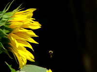 Sunflower and Bumble Bee Dropping Pollen