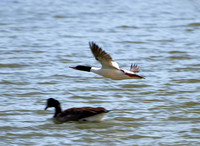 Male Merganser flying