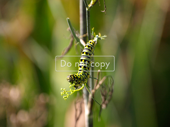 Black Swallowtail Caterpiller on Dill Plant